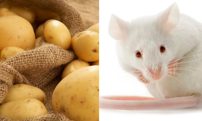 El caso de las papas GM y el daño intestinal en ratones.