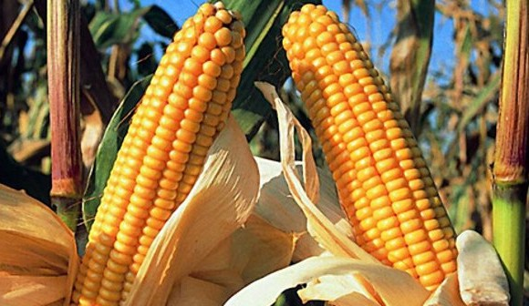España cosechó 129 mil hectáreas de maíz transgénico resistente a insectos en 2016