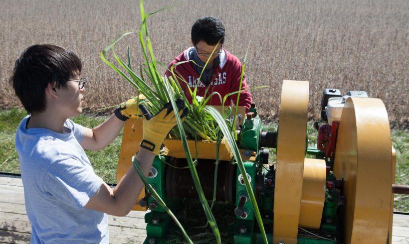 Desarrollan caña de azúcar genéticamente modificada que produce hasta 167% más biodiesel