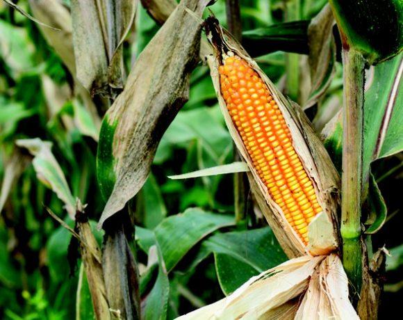 Desarrollan maíz genéticamente modificado con mayor rendimiento agrícola