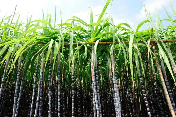 con-edicion-genica-desarrollan-cana-de-azucar-para-mejor-produccion-de-biocombustible