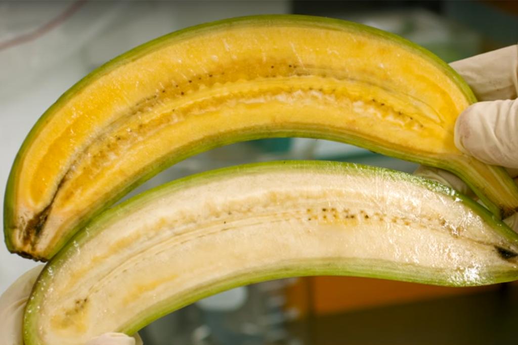 plátano transgénico alto en vitamina A