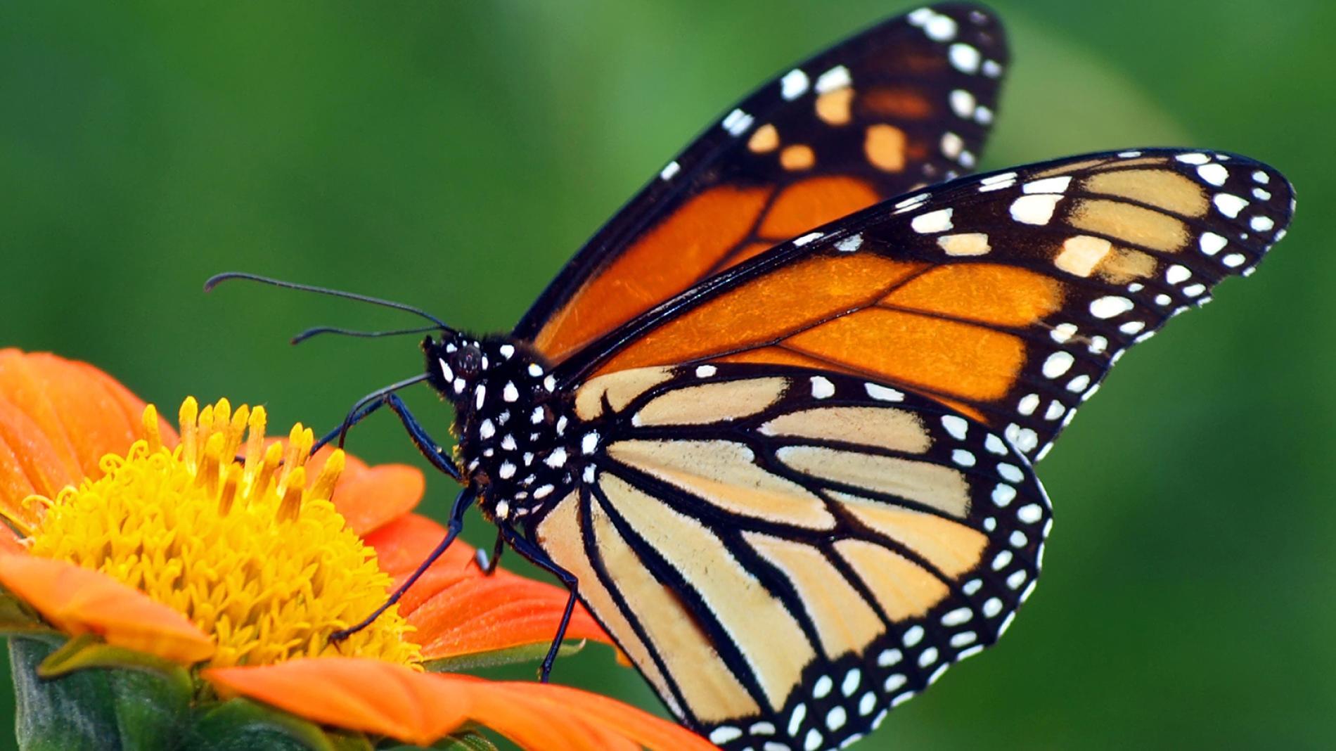 Mariposa monarca transgénicos