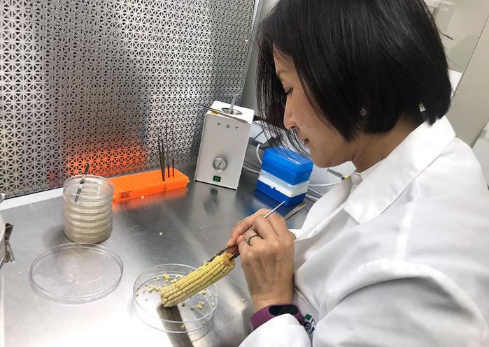 Maíz editado genéticamente con CRISPR