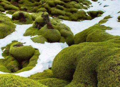 musgo antártico