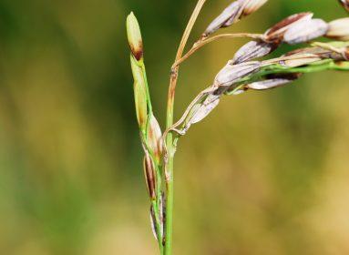 tizón del arroz