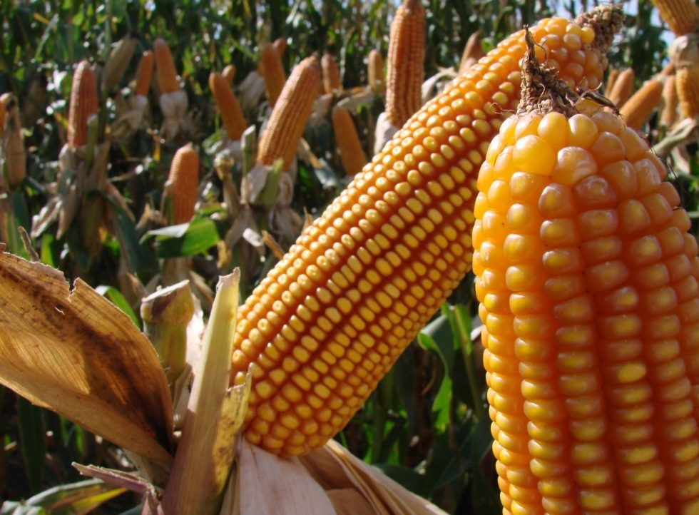 maíz transgénico paraguay