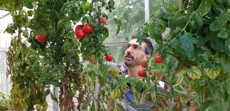 tomate CRISPR