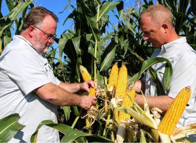 maíz transgénico Bt