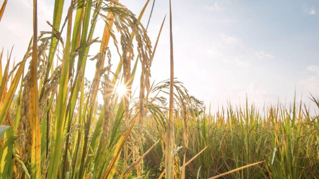 estrés ambiental cultivos