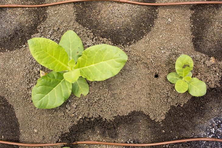 Tabaco genéticamente modificado con mejor eficiencia de fotosíntesis.