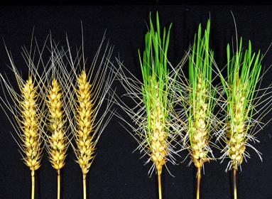 trigo editado con CRISPR
