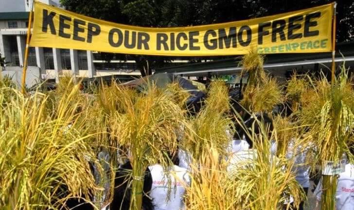 arroz dorado transgénico