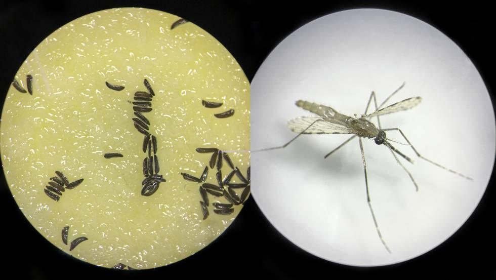 mosquito genéticamente modificado