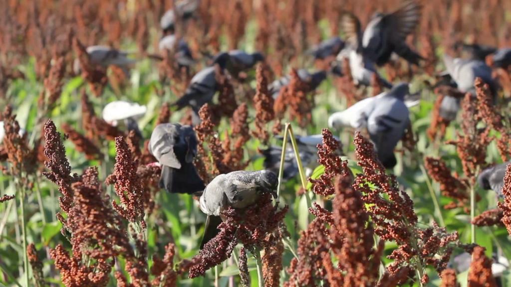 daños de pájaros en cultivos