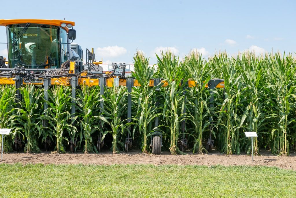 maíz de baja estatura