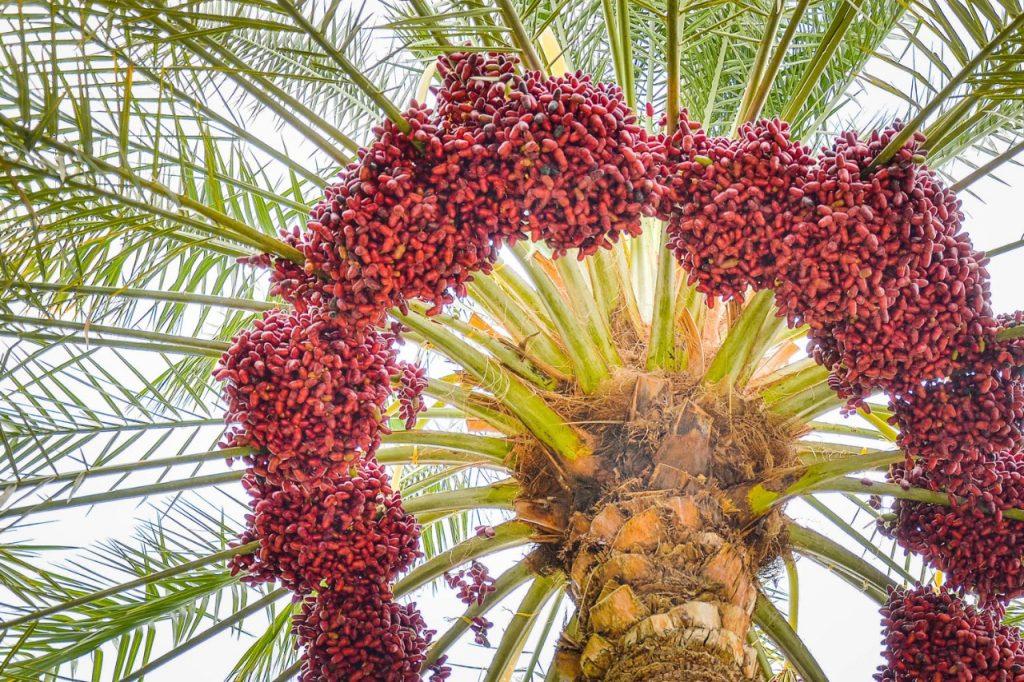 genoma de la palma datilera