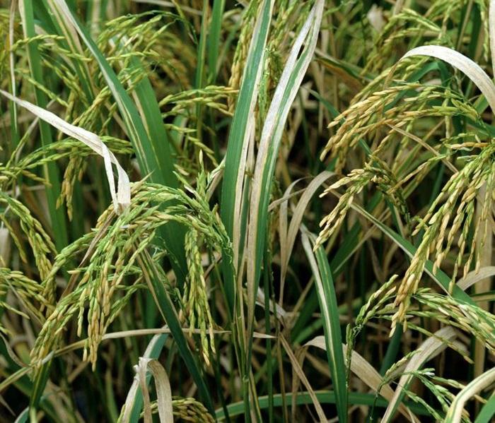 arroz editado CRISPR