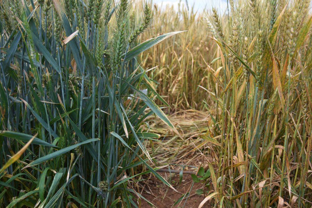 mejoramiento genético de trigo
