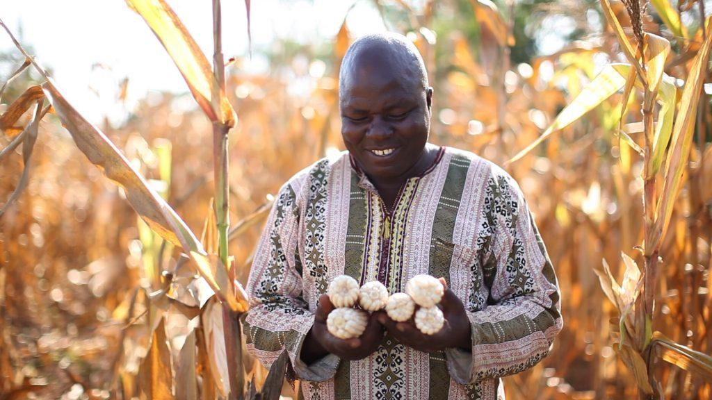 maíz transgénico Kenia