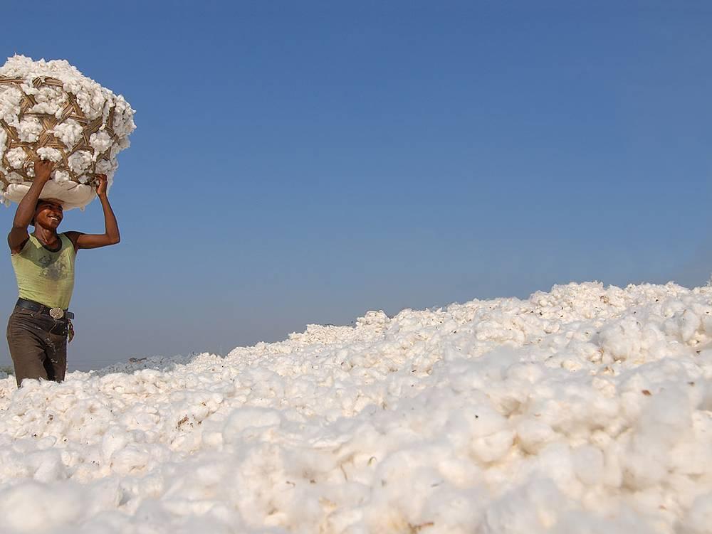 algodón transgénico kenia