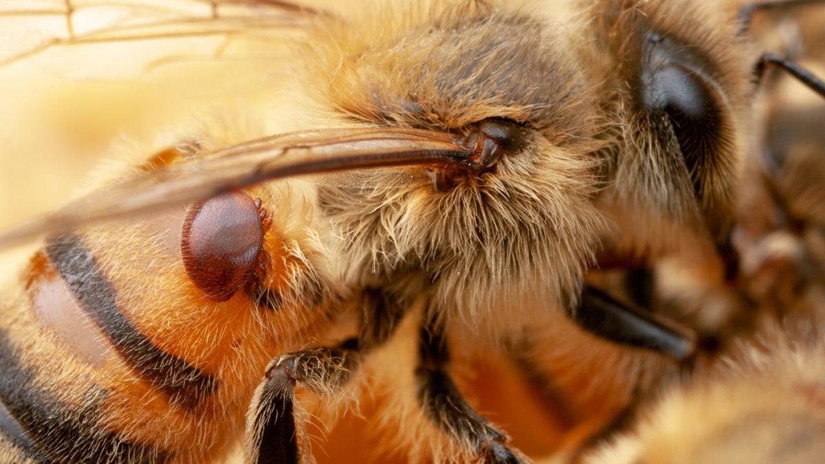 abeja transgénica