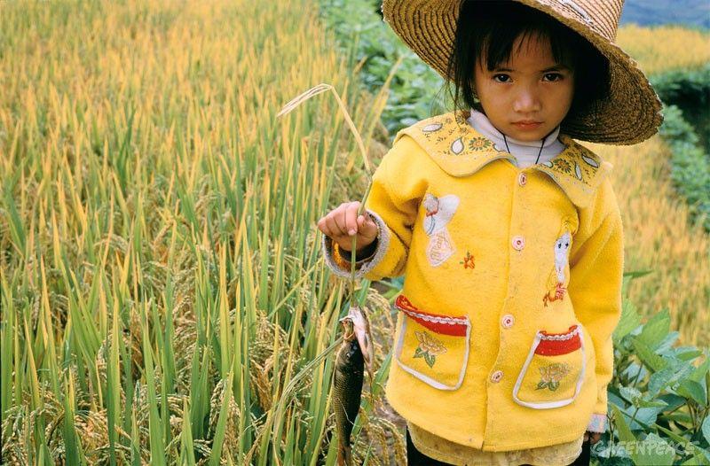 arroz transgénico dorado