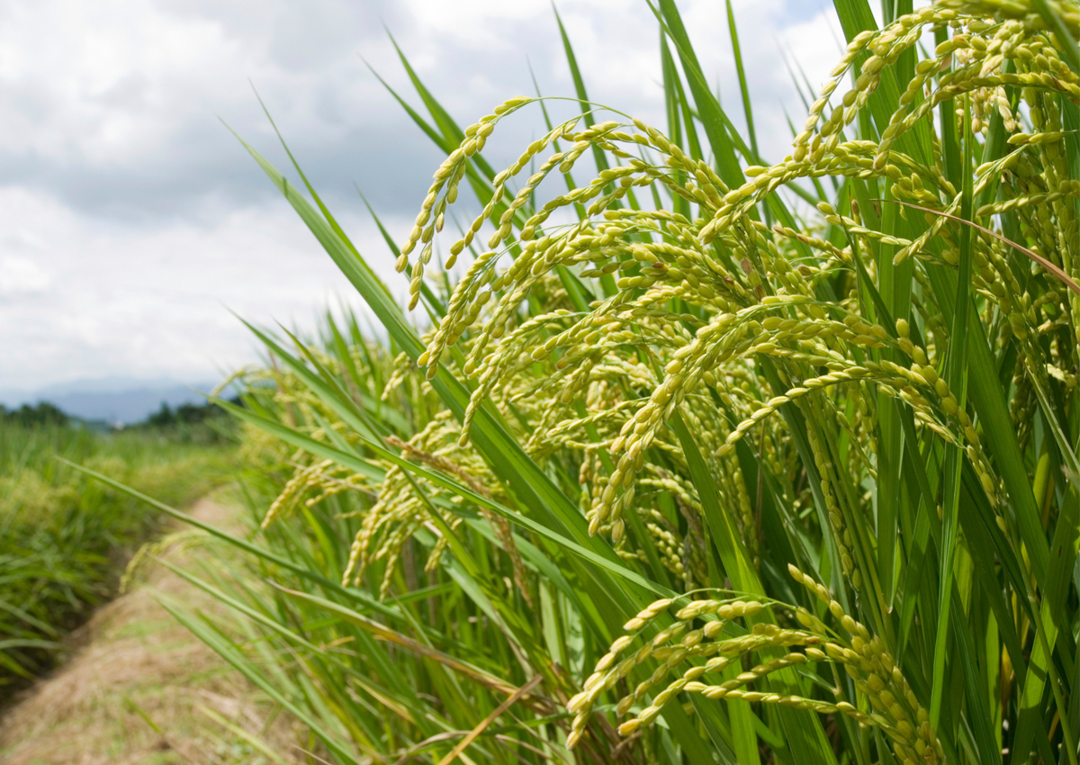 arroz de alto rendimiento