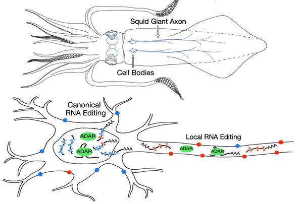 calamar ARN