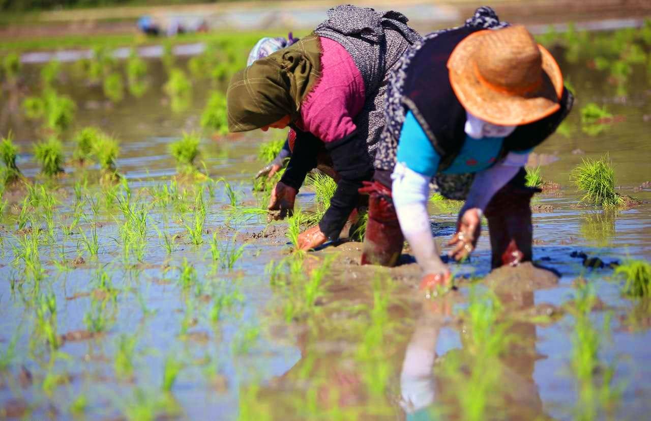 arroz transgénico sustentable