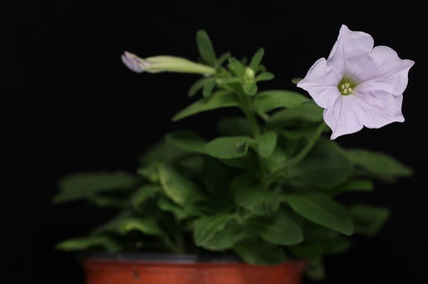 petunia editada genéticamente