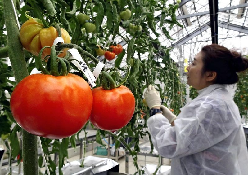 tomate editado genéticamente