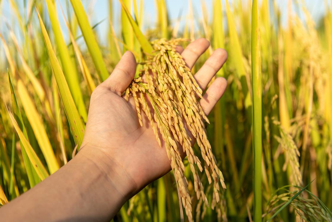 domesticación de arroz silvestre con edición genética