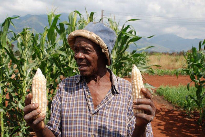 maíz blanco transgénico